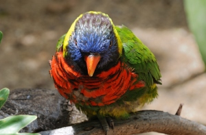 One-legged angry lorikeet at the San Diego Zoo's Wild Animal Park
