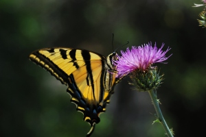 Butterfly clinging to a thistle, springtime in the desert mountains.