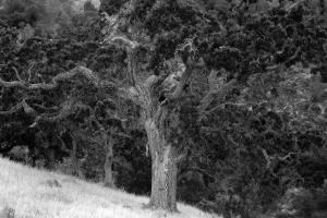 Gnarly big tree outside San Ramon, CA